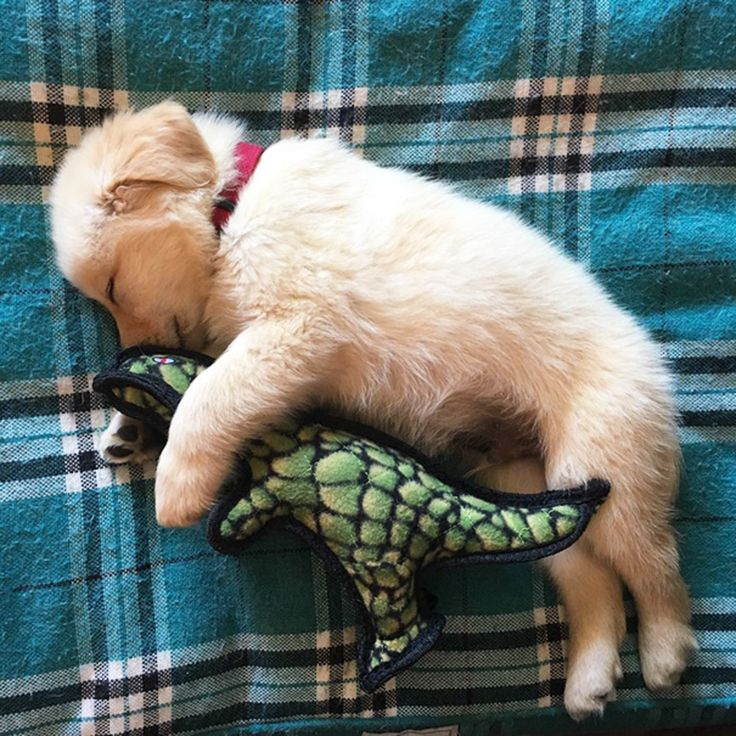 Best Pets Images On Pinterest - 25 photos that prove golden retrievers are the cutest puppies