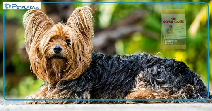 Yorkshire Terier este un câine extrem de inteligent, energic şi plin de încredere de sine.  Nu te lăsa păcalit de dimensiunile sale reduse.  Acest căţel iubeşte aventura, este curajos şi foarte loial prietenului său uman.  De asemenea adoră plimbările lungi şi, ori de câte ori poate, vrea să-ţi demonstreze că are calităţile unui câine de pază Este foarte curios şi invaţă repede. Instinctele de vânător sunt foarte dezvoltate. De aceea nu este indicat să aibă acces la cuşca hamsterului:)