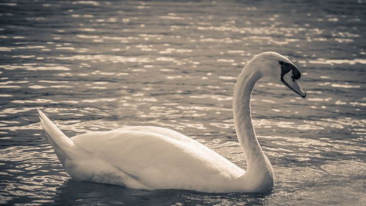 White swan  http://5kwallpapers.com/wall/white-swan-4  #white #swan #animal #wild #nature