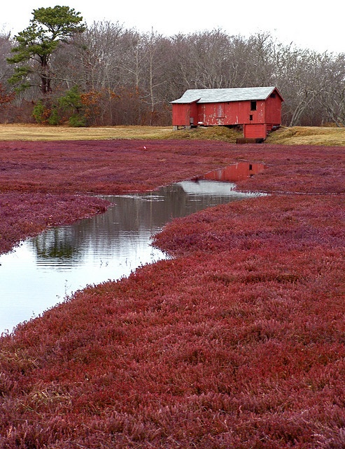 Cranberry Bog in Massachusetts - fun in the fall!