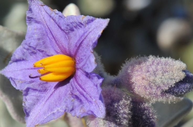 Photo by: Reg Robinson  This photo of the Flannel Bush Solanaceae (Potato Family) was taken along the Goldfields Highway 30 km north of Kalgoorlie.