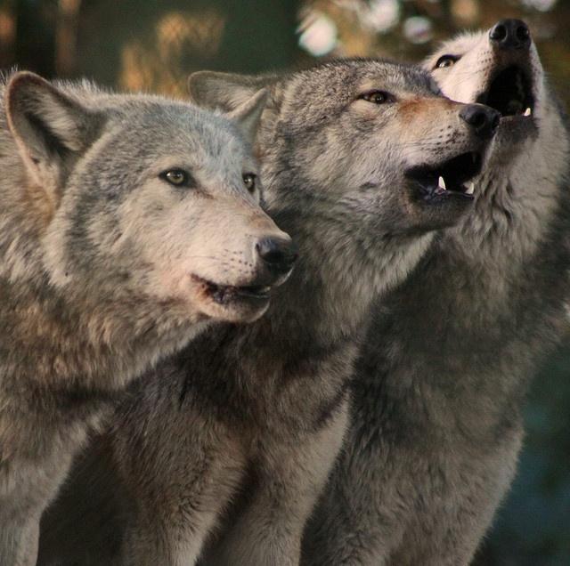 Howling grey wolves카지노바카라 MD414.COM 카지노바카라 카지노바카라카지노바카라 카지노바카라