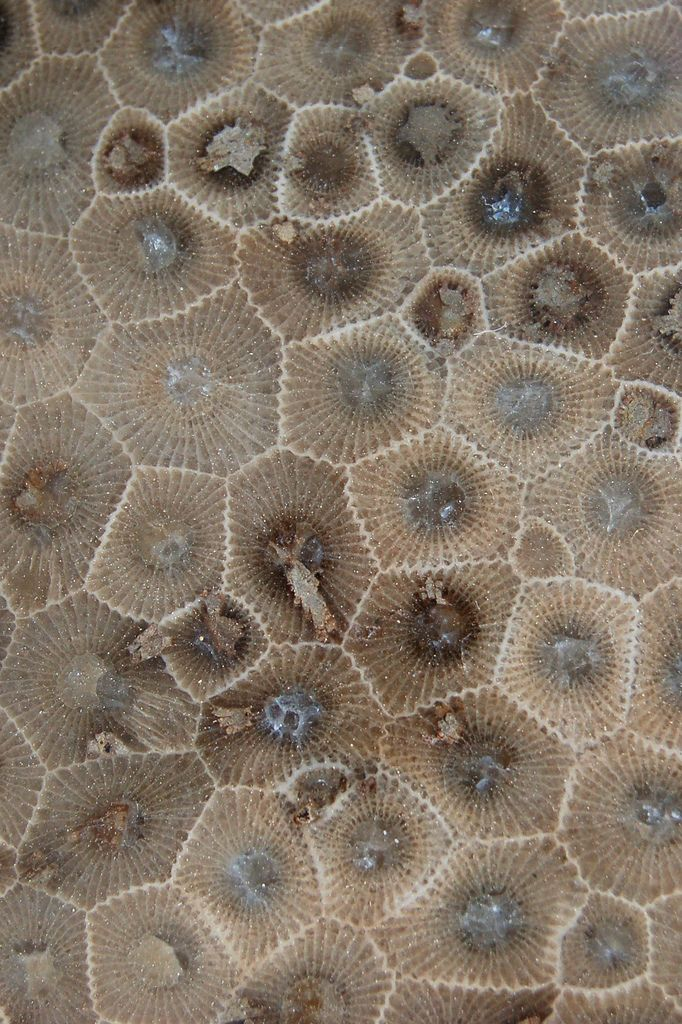 A Petoskey stone is a rock and a fossil, often pebble-shaped, that is composed of a fossilized coral,