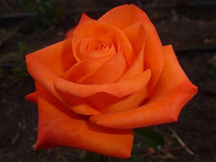 там картинки с морковным цветом розы разные виды эпиляции