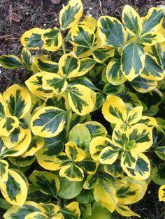 72 best Nonflowering outdoor plants images on Pinterest Outdoor