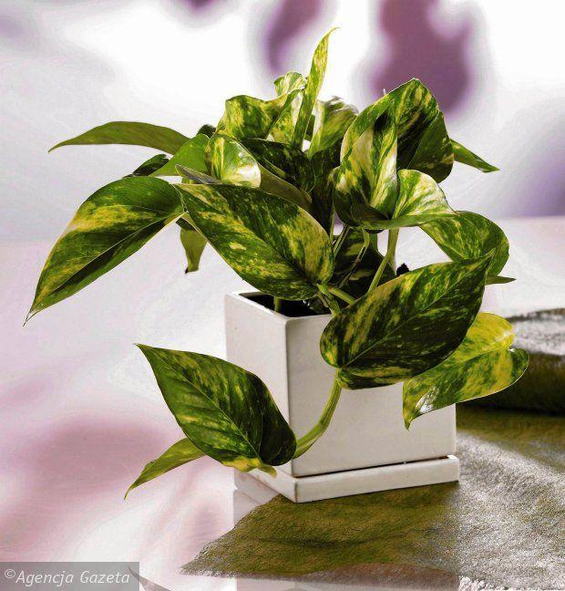 Rosliny Oczyszczajace Powietrze Epipremnum Zlociste Scindapsus Epipremnum Aureum Plant Leaves Plants Leaves