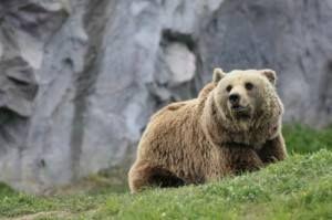 L'#Orso nelle #montagne sopra #Arco 2014 su: 3ntinoaltoadige.it http://www.3ntinoaltoadige.it/index.php?option=com_content&view=article&id=244%3Al-orso-nelle-montagne-sopra-arco-2014&catid=209%3Anews-2014&Itemid=212&lang=en