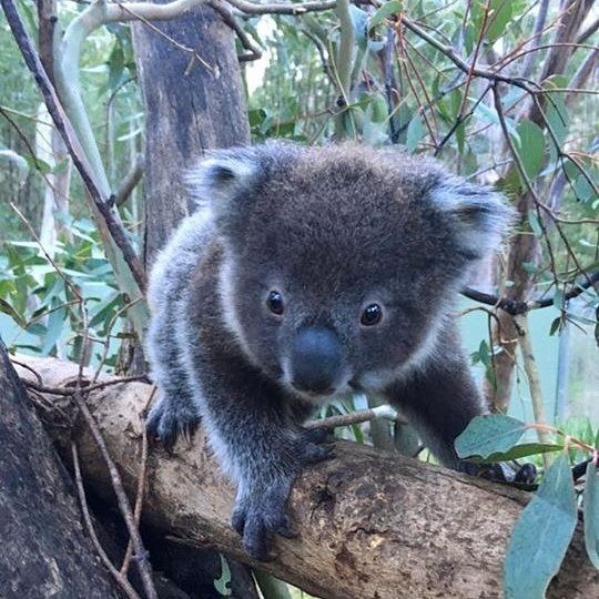 We are so excited to share the news that a second baby koala has been born at Canberra's Tidbinbilla Nature Reserve, thirteen years after a bushfire almost wiped out the koala population in this breathtaking reserve. There are now 14 koalas at Tidbinbilla including eight-month-old Tucker pictured in this photo. The new koala joey still needs a name; we'd love to hear your suggestions! #visitcanberra #seeaustralia