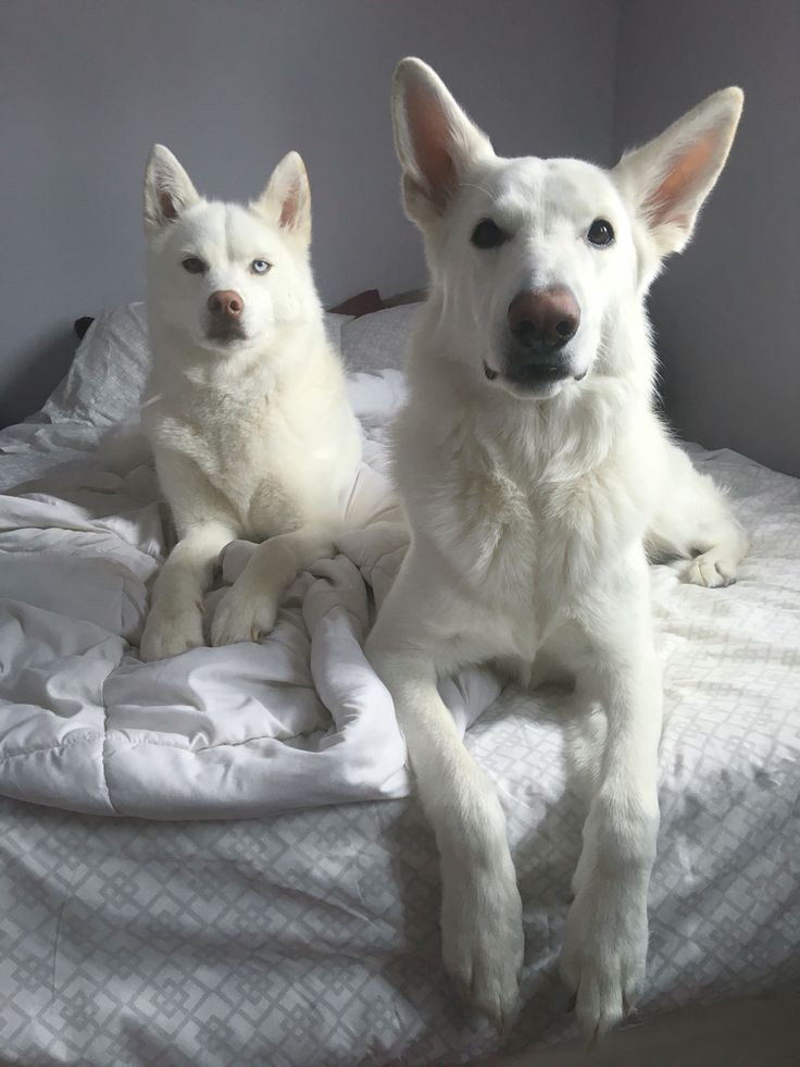Striking a pose.. White German Shepherd & White Siberian Husky