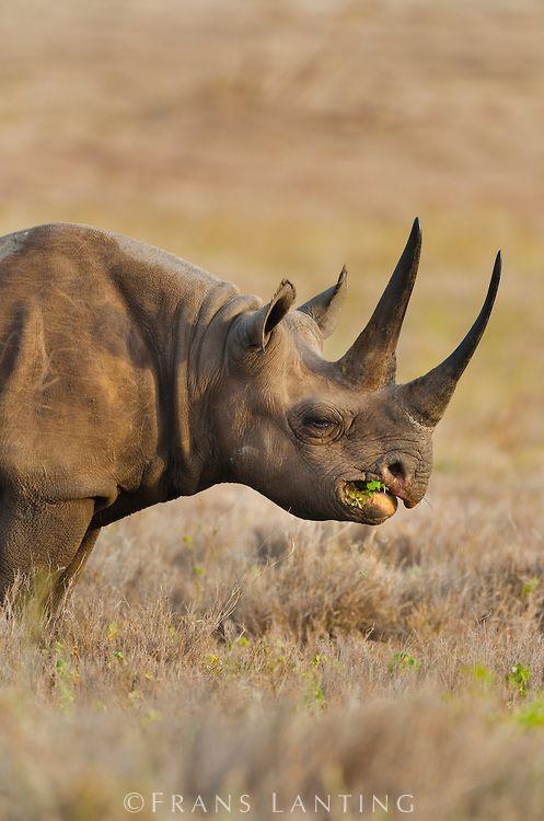 © Frans Lanting - Black rhinoceros eating, Diceros bicornis, Lewa Wildlife Conservancy, Kenya