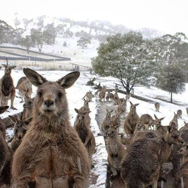Winter in the Australian highlands, even the kangas feel the cold
