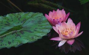 Обои водяная лилия, розовая, вода, отражение, нимфея