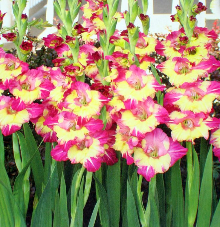 """bulb flowers names and pictures   Details about """"Dynamite II"""" Gladiolus Bulbs - 6 Flower Bulbs"""