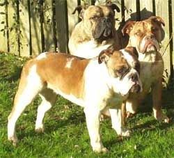Victorian Bulldog, I love them
