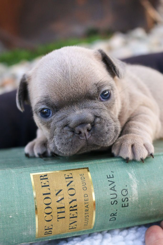 Frenchielove These Adorable Pups Will Make The Most