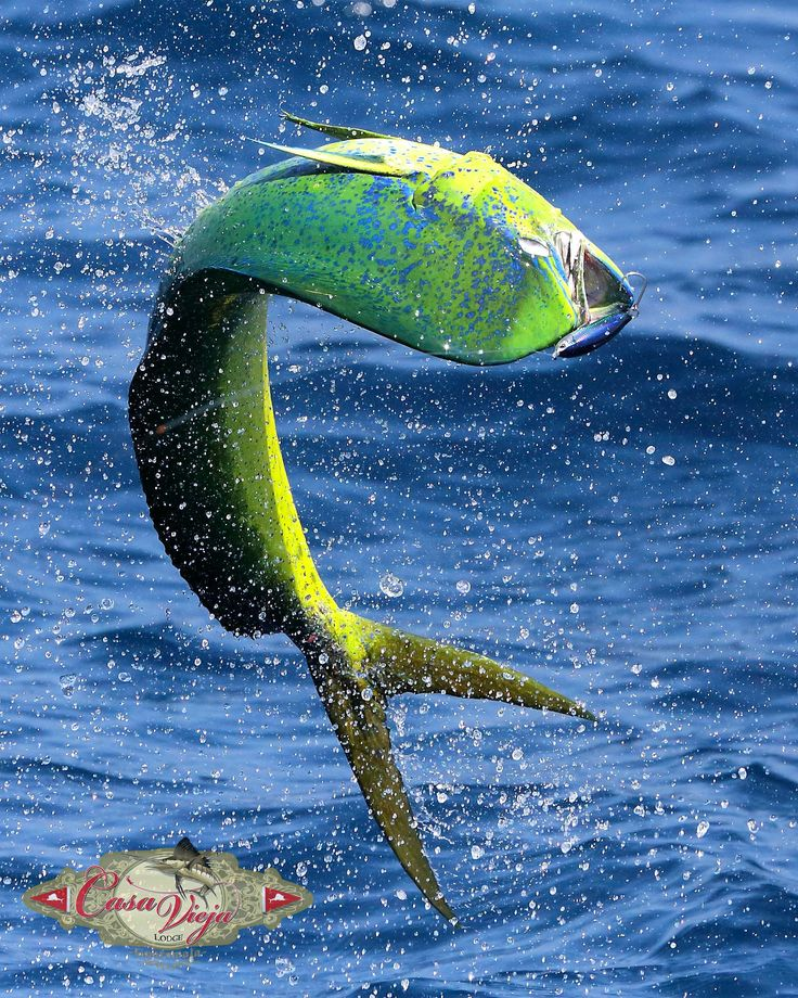 Fresh Mahi mahi just in time at the world greatest fishing lodge, Casa Vieja Lodge Guatemala!!! Deep sea fishing