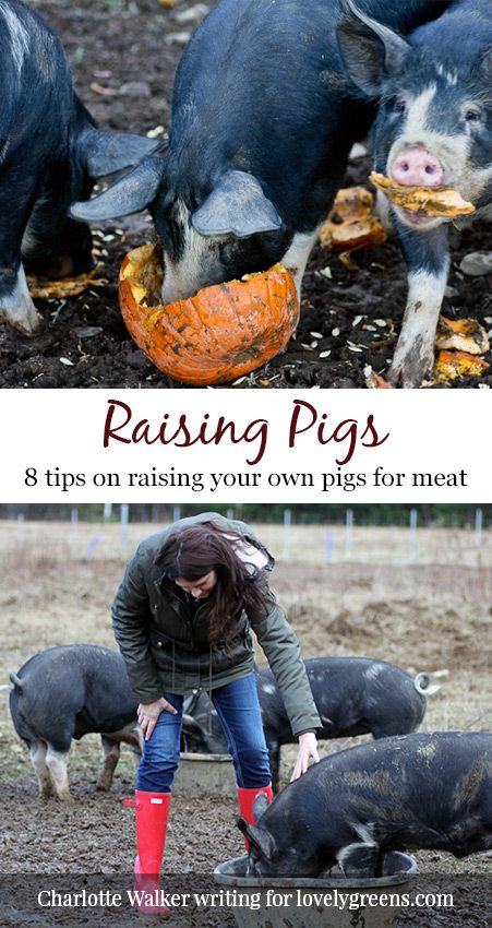 8 Things to Know about Raising Pigs for meat. A beautifully written piece that includes everything from choosing a breed to the bittersweet moment at the end. A must read!