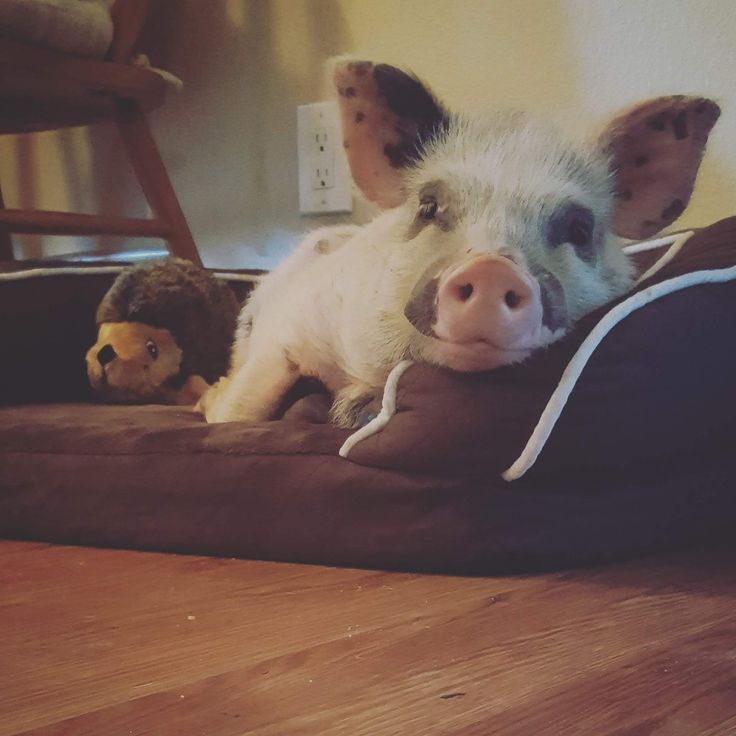 I got a pet Mini Potbelly Pig! His name is Donut or Commander Sniffs!