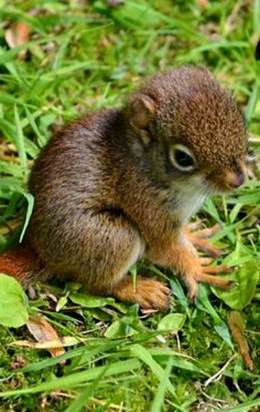 Baby red squirrel - so cute!