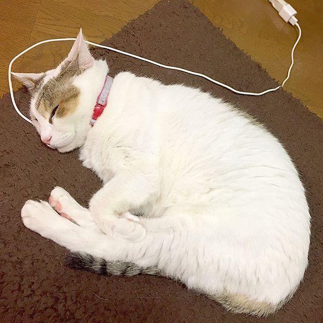 ・ 💗🐈🐈🐈💗🐈🐈🐈💗🐈🐈🐈💗 ・ 久しぶりのキキさん。 ・ ふと見たら、充電されてた。 ・ もしや、ネコ型ロボット??? ・ 💗🐈🐈🐈💗🐈🐈🐈💗🐈🐈🐈💗 ・ ・ #私の病歴と同じ愛猫たち #私に癒しを与えてくれる #大事な存在💗 ・ ・ #かわいい #可愛い #カワイイ #癒し部長 #癒し #大事な存在 #好き #大好き #catsofinstagram #japanesecat #charging #kawaii #family #写真 #写真を撮るのが好きな人と繋がりたい #写真部 #写真好き #写真撮ってる人と繋がりたい #面白い #おもしろい #ペット #white #白 #ホワイト #お洒落 #お洒落な人と繋がりたい #お洒落さんと繋がりたい