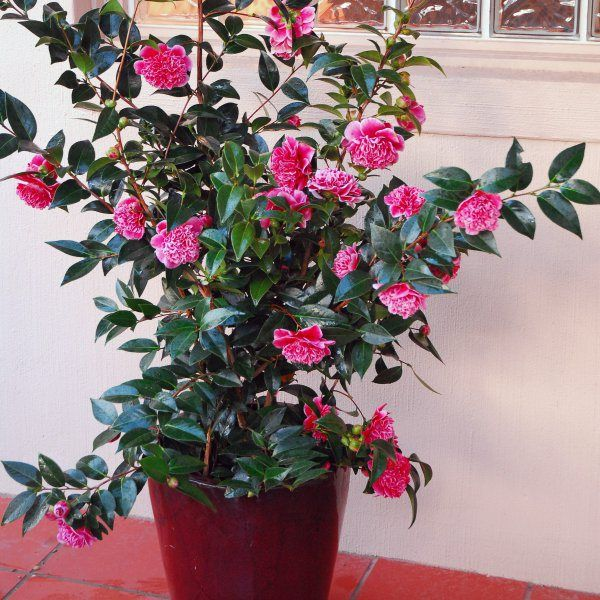 Perfect Plant for Shade - Flowering mid Winter through to Spring