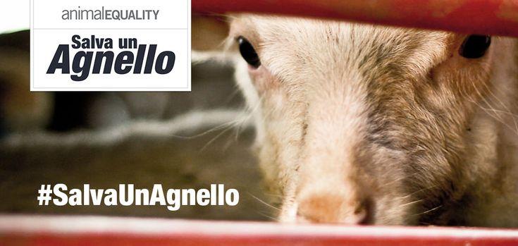 #SalvaUnAgnello – La campagna per chi non può difendersi  Animal Equality continua senza sosta il lavoro investigativoper mostrare la realt...