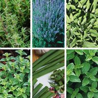 Image of Perennial Herb Collection