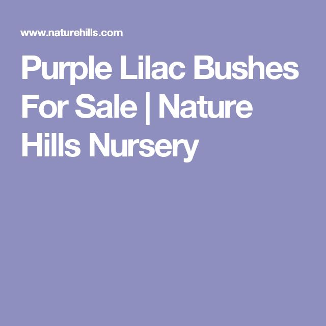 Purple Lilac Bushes For Sale | Nature Hills Nursery