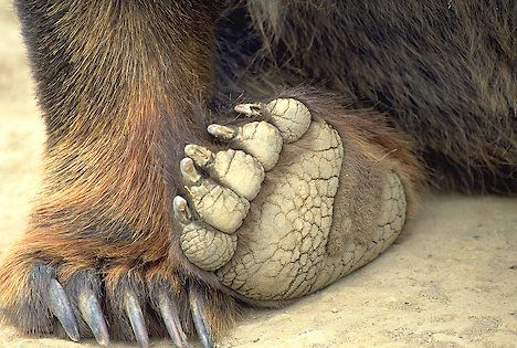 Bear+Paw | picture of Photo Of Brown Bear Paws Image