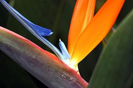 Flor-Ave-do-Paraíso, um dos belos exemplares da conservação ex-situ (conservação de plantas fora do local de origem) do Jardim Botânico de SP: http://abr.io/3HZk