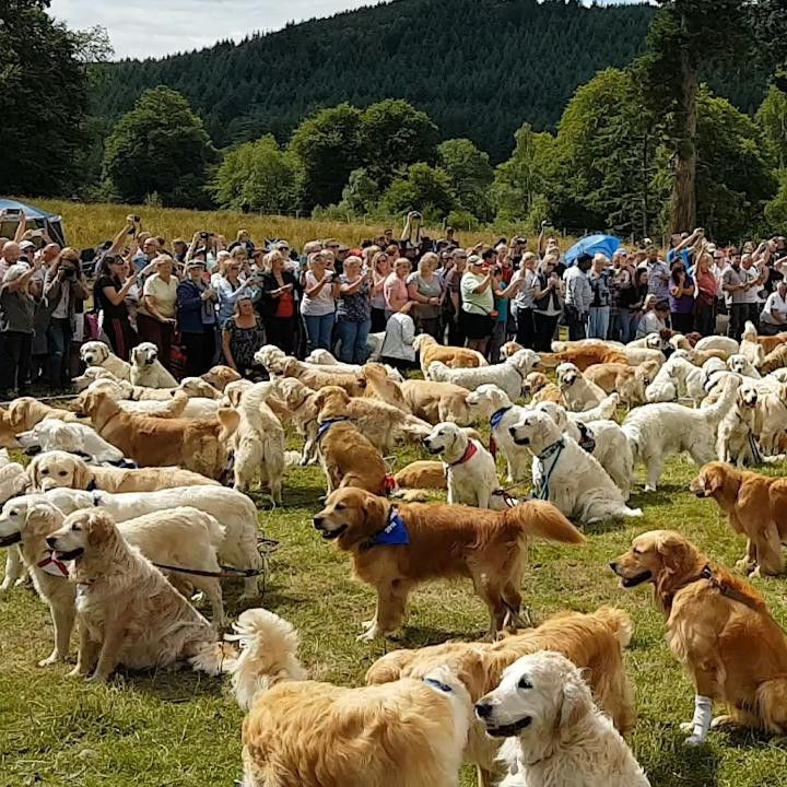 Video Hundreds Of Golden Retrievers Gather To Celebrate Breed S