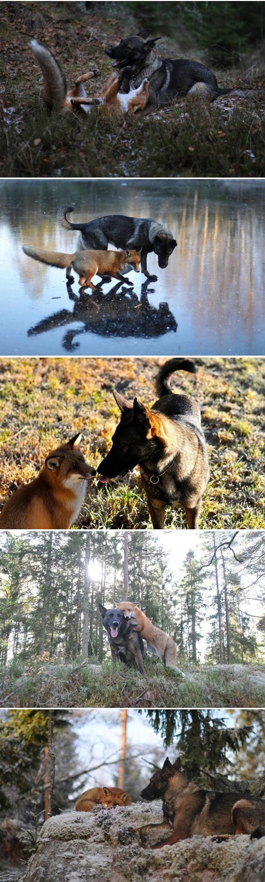 best german shepherds images on pinterest german shepherd