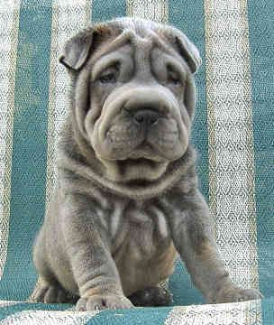 Chinese Shar Pei Rescue Texas | Chinese Shar-Peis - Dogs -