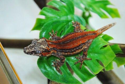 rhacodactylus | Kronengecko - Rhacodactylus Ciliatus - Correlophus ciliatus - Crested ...