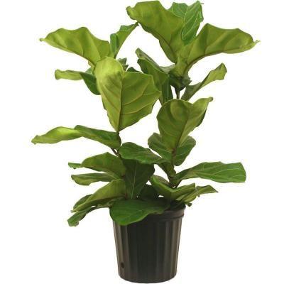 Delray Plants 10 in. Ficus Pandurata Bush in Deco Pot-10PAN at The Home Depot