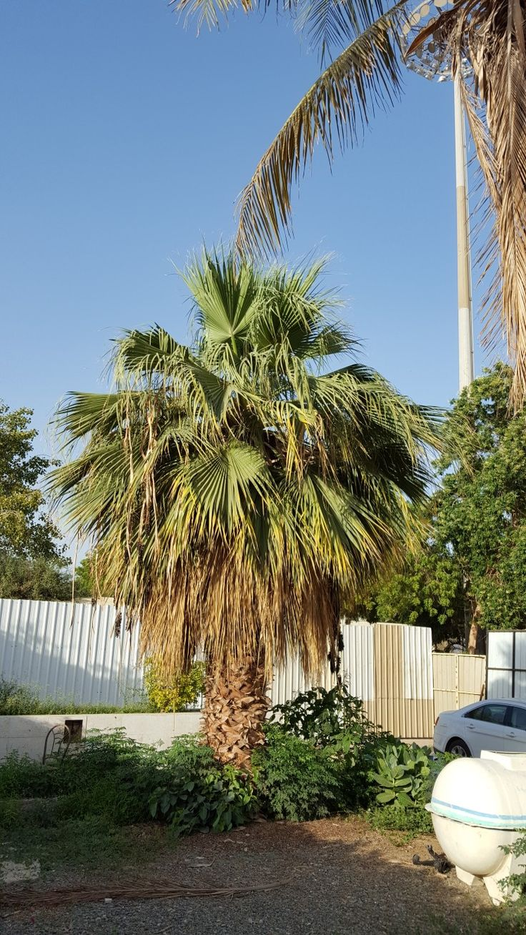 The 25+ best Washingtonia palm ideas on Pinterest | Palm tree png ...