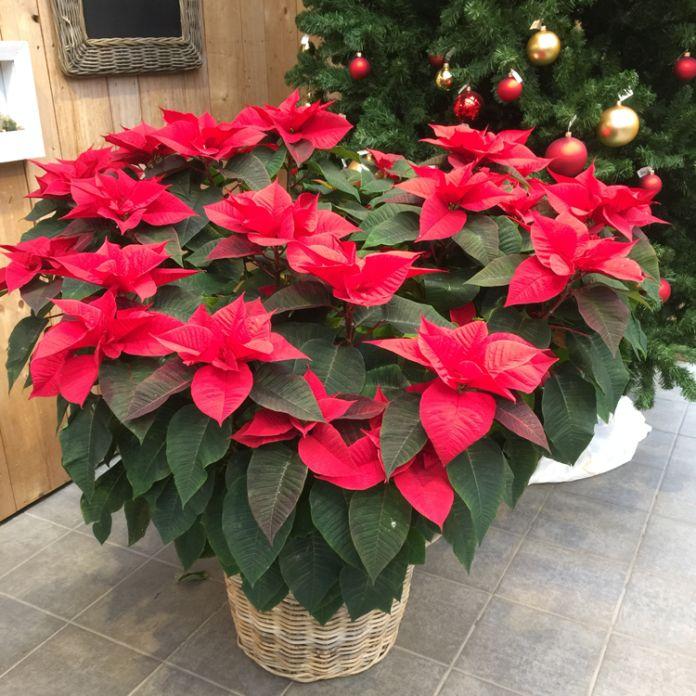 Weihnachtssterne – die beliebtesten Zimmerpflanzen richtig pflegen