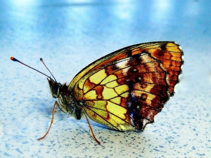 butterflyPretty Butterflies, Butterflies Dragonflies, Beautiful Butterflies, Butterflies Flutterby, Glasses Butterflies, Mosaics Artworks, Moth, Stained Glasses