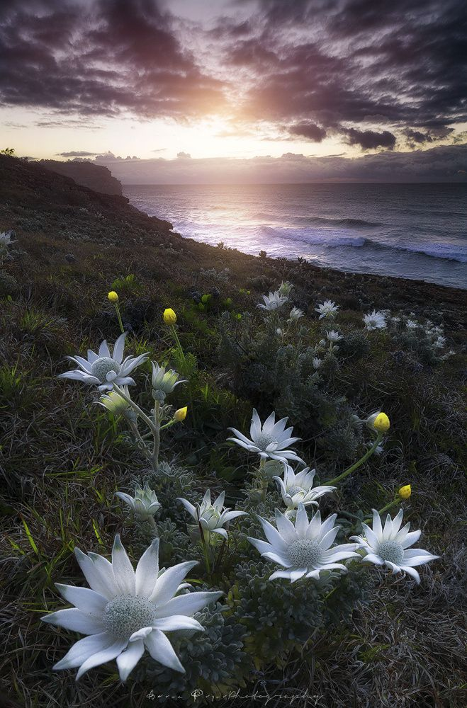 b e t w e e n II w o r l d s by Aaron Pryor on 500px. Australian native Flannel Flowers.