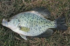Crappie Fishing 12 Tips for a Better Catch PLUS download a free printable guide to snelling a tandem hook - Mountain Cabin Outdoors | http://mountaincabinoutdoors.com/crappie-fishing-12-tips/ 