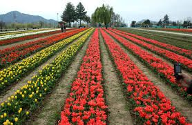 Are not they just amazing? World famous Mughal Gardens in Srinagar are really a visual pleasure.