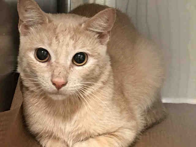HAMMOND - A1092344 - - Manhattan  ***TO BE DESTROYED 10/09/16*** THREE HEALTHY GINGER KITTIES NEED YOU TONIGHT OR THE ACC WILL KILL THEM FOR ABSOLUTELY NO REASON!! PEACH, HAMMOND and STAR were dumped in the shelter when their owner's landlord told him to get rid of them because he had too many pets. Last night we saw GEORGE A1092343 on the list and whose status is still unknown. Tonight we see three more housemates scheduled to die. All three of these kitties are PERF