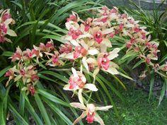 Cymbidium: reina de las orquídeas cultivadas