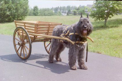 Bouvier des Flandres prepared to partake in Carting competition.