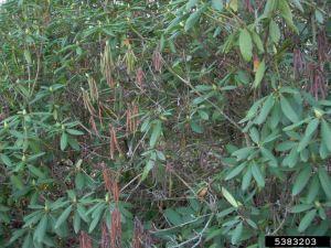 Azalea & Rhododendron Diseases   Clemson Cooperative Extension