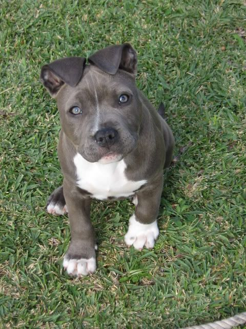 my favorite dog breed is the pitbull amstaff because ...