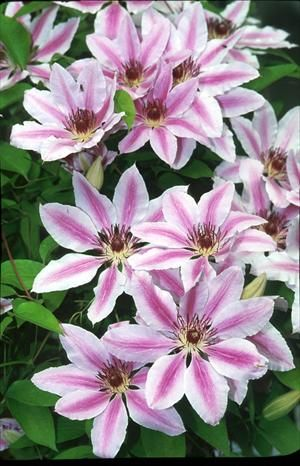 Clematis 'Nelly Moser' - Blooms May-June & again in September. Tends to fade in full sun. Best sited in partial shade (4-6 hours). 6-10' tall. Zones: 4-8