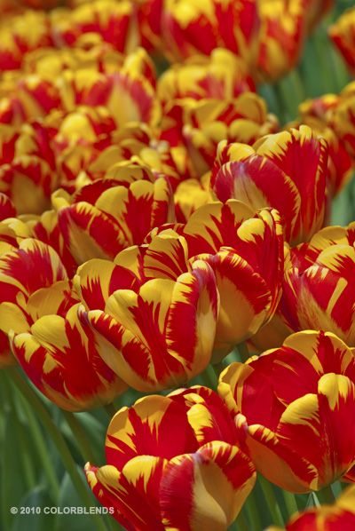 Banja Luka--Huge goblets of marigold yellow feathered deep orange-red. Banja Luka is a brilliant and sturdy variety, very showy to say the least. This tulip is a movie star.