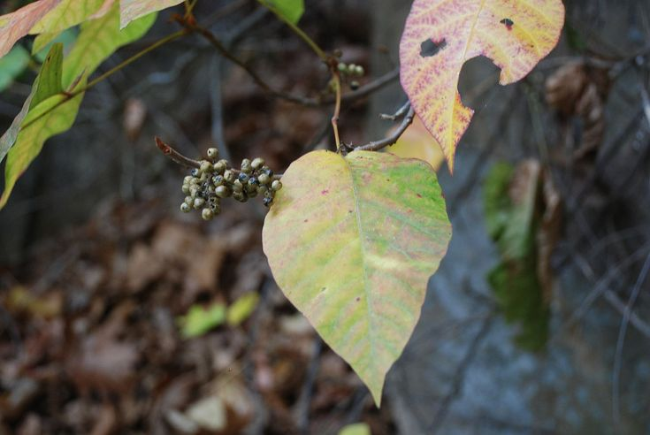 Red River Gorge - Poison Ivy - Toxicodendron radicans - Wikipedia