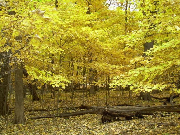 Fall color in the forest preserve at Morton Grove, IL